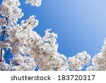 Постер, плакат: White cherry tree blossoms