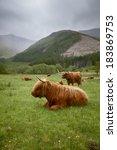 Постер, плакат: A herd of Highlander