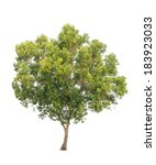 acacia auriculiformis  commonly ... | Shutterstock . vector #183923033