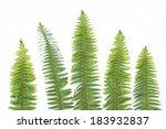 Ferns On White Background  Lea...