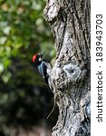 Small photo of Acorn Woodpecker in a tree