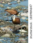 Small photo of Two African Jacanas (Actophilornis africanus) searching for food on floating refuse and sewage