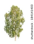 Small photo of Eucalyptus tree, tropical tree in the northeast of Thailand isolated on white background