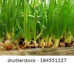 Growing Green Onion From Large...