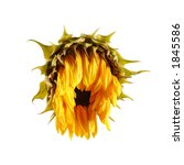 A Dying Sunflower With Droopin...