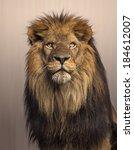 Lion Looking Up  Panthera Leo...