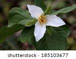 Pacific Trillium   Trillium...