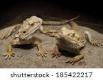 Bearded Dragons   A Pair Of...