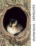 Wood Duck  Aix Sponsa  Chick I...