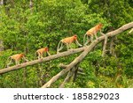 Proboscis Monkeys On A Tree ...