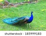 Peacock Walking On Green Grass