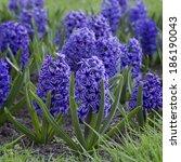 Blue Hyacinths Blooming In...