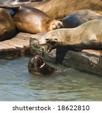 Sea Lions  Playing And Sun...