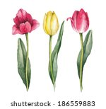 Watercolor Tulips On A White...