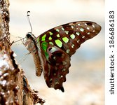 Closeup Tailed Jay Butterfly....