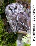 Small photo of Tengmalm`s Owl (Aegolius funereus)