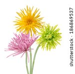 Small photo of pink, green and yellow disbud spider mum (aster) flowers isolated on white background