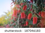 Trees With Red Flowers Closeup