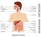 anatómica,anatomía,ano,apéndice,biología,vejiga,cartílago,colón,diagrama,digestión,digestivo,duodeno,editable,educativos,esófago