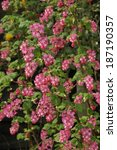 Flowering Currant   Ribes...