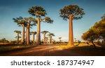 baobab trees along the rural... | Shutterstock . vector #187374947