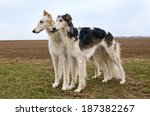 Two Russian Wolf Hounds...