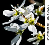 Small photo of A macro shot of some amelanchier tree blossom.