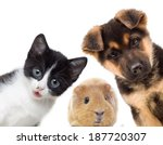 puppy and kitten and guinea pig  | Shutterstock . vector #187720307