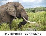 Elephant In The Kruger Park