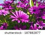 Purple Osteopermum African...
