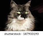 portrait of a maine coon | Shutterstock . vector #187933193