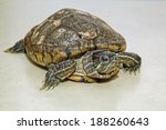 thirty years old brazil turtle... | Shutterstock . vector #188260643