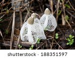 Dictyophora Indusiata In The...