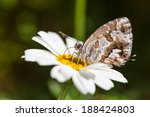 Small photo of The Geranium Bronze (Cacyreus marshalli) is a butterfly in the family Lycaenidae
