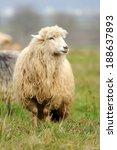 sheep herd in summer meadow | Shutterstock . vector #188637893