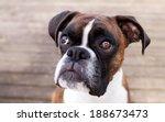 Adorable Brindle Boxer Dog...