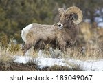Big Horn Sheep In Profile