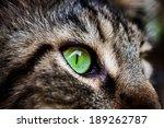 Closeup Green Eye Of Maine Coo...
