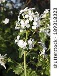 Lunaria Annua 'alba'  White...