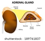The Adrenal Glands Consisting...