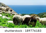 Grazing Sheep On The Coast Of...