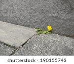 Dandelion Between Pavement An...