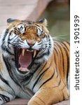Yawning Tiger