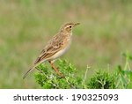 Small photo of African Pipit