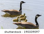 Canadian Goose Family With Mom...