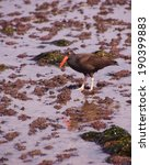 Small photo of American oystercatcher walking in tide pools, ( Haematopus palliatus ) near Otter Rock, Oregon coast