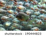 Red Bellied Piranha School...
