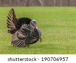 Wild Turkey Strutting For A...