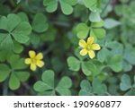 Small Yellow Oxalis  Oxalis...