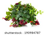 Small photo of Lipstick Plant (Aeschynanthus radicans) in pot, isolated on white background